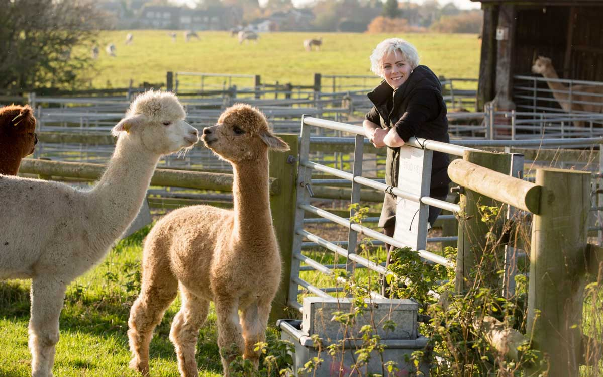 Alpacas are fiber-producing animals