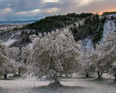 Olive Trees From Frost