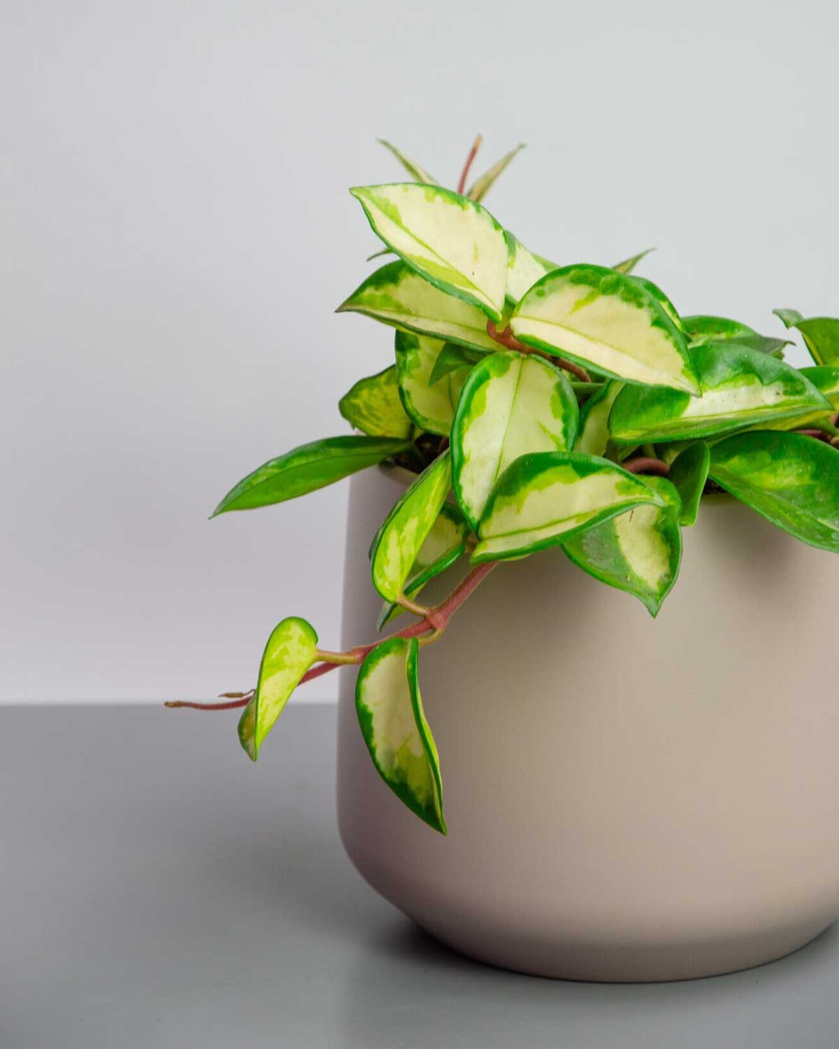 How To Look After A Hoya Houseplant