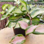 Hoya Houseplant